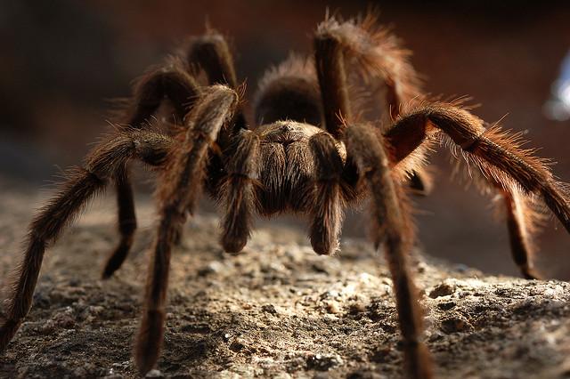 Kæmpe edderkop